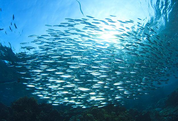 Forage Fish